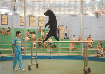 8月31日,广州动物园内动物行为展示馆,一只黑熊正在表演走双杠.